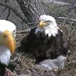 Awe-Inspiring Family Values – The Decorah Bald Eagles